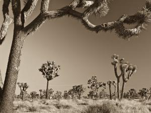 California, Joshua Tree National Park, Joshua Trees, USA by Michele Falzone