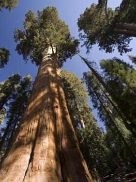California, Sequoia National Park, General Sherman Tree, USA by Michele Falzone