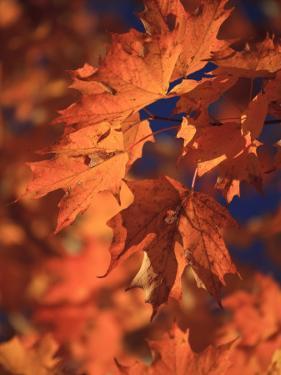 USA, New England, Maine, Acadia National Park, Fall Foliage by Michele Falzone