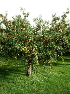 """Apple Tree with Fruit in Autumn Malus """"May Queen"""" by Michele Lamontagne"""