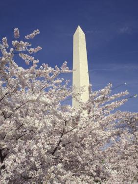 Cherry Blossom Festival and the Washington Monument, Washington DC, USA by Michele Molinari