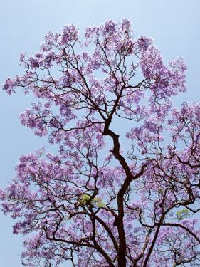 Jacaranda Trees Blooming in City Park, Buenos Aires, Argentina by Michele Molinari