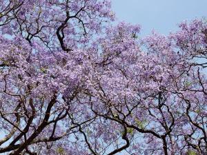 Jacarandas Trees Bloom in City Parks, Parque 3 de Febrero, Palermo, Buenos Aires, Argentina by Michele Molinari