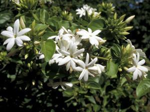 Jasmine Flowers in Bloom, Madagascar by Michele Molinari