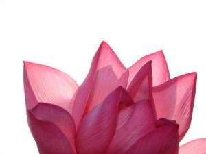 Lotus Flower in Full Bloom by Michele Molinari