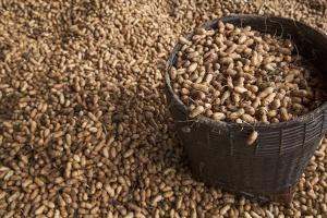 Peanuts being harvested in Bagan, Myanmar. by Michele Niles