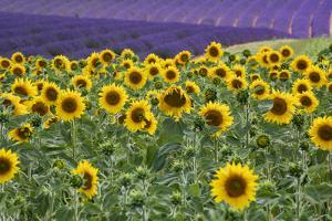 Sunflowers blooming near lavender fields during summer in Valensole, Provence, France. by Michele Niles