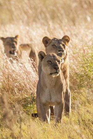 African Lionesses by Michele Westmorland