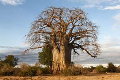 Baobab Tree by Michele Westmorland