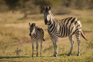 Burchell's Zebra Foal and Mother by Michele Westmorland