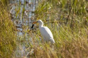 Great Egret Catching Frog by Michele Westmorland