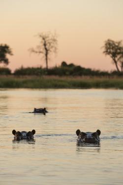 Hippopotamus, Botswana by Michele Westmorland