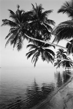 Maldives, Felidhu Atoll, Palm Tress on Beach by Michele Westmorland