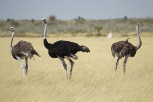 Ostriches by Michele Westmorland