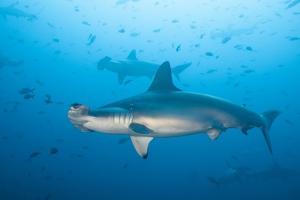 Scalloped Hammerhead Shark by Michele Westmorland
