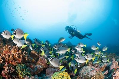School of Yellow Tail Surgeonfish by Michele Westmorland