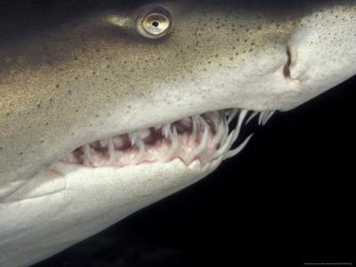 Underwater View of a Sand Tiger Shark, South Africa by Michele Westmorland