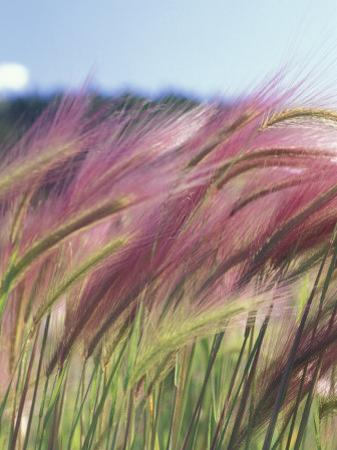 Wild Barley by Michele Westmorland
