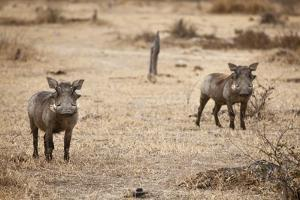 Young Warthogs by Michele Westmorland