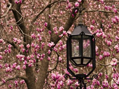 Detail of Lantern and Magnolias Blooming, City Hall Park, Lower Manhattan