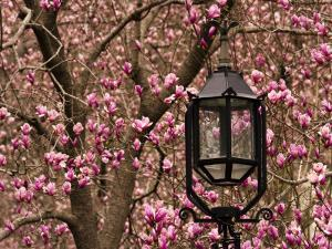 Detail of Lantern and Magnolias Blooming, City Hall Park, Lower Manhattan by Michelle Bennett