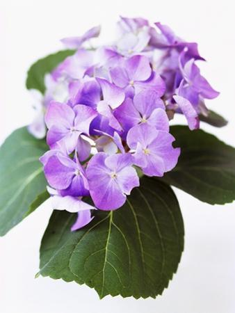 Cluster of Purple Hydrangea Flowers by Michelle Garrett
