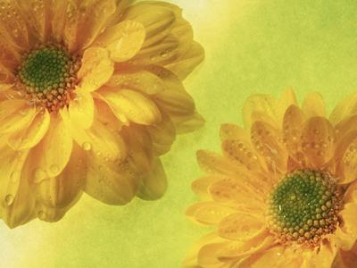 Two Yellow Chrysanthemums by Michelle Garrett