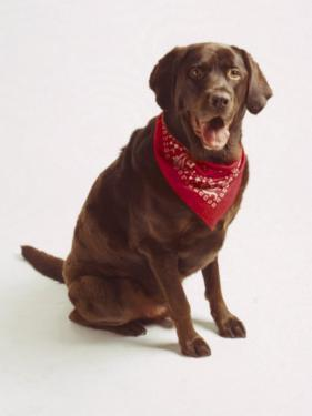 Chocolate Lab with Red Bandana by Michelle Joyce