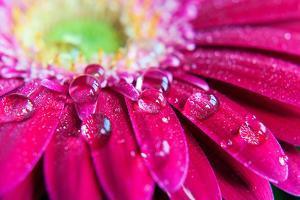 Gerbera Rain Droplets by Michelle McMahon