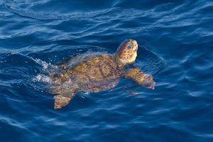 Juvenile Loggerhead Turtle (Caretta Caretta) Swimming with Head Raised Above the Sea Surface by Mick Baines