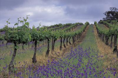 Wendouree Cellars Vineyard