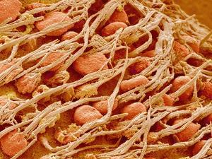 Cilia of the Inner Ear of a Rabbit by Micro Discovery