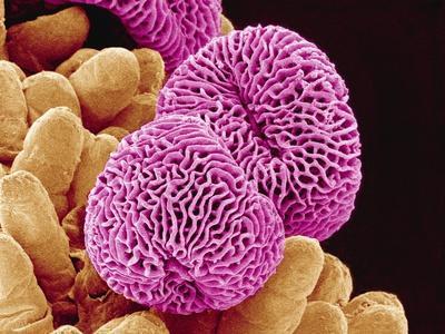 Geranium Pollen
