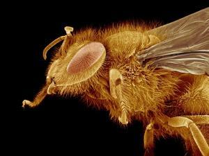 Head of a Honeybee by Micro Discovery