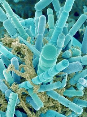 Sea Diatom by Micro Discovery