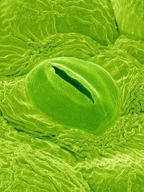 Stomata on a Camellia Leaf by Micro Discovery