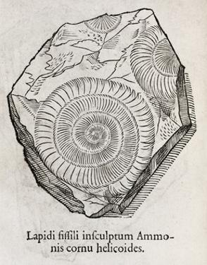 Ammonite Fossil, 16th Century by Middle Temple Library