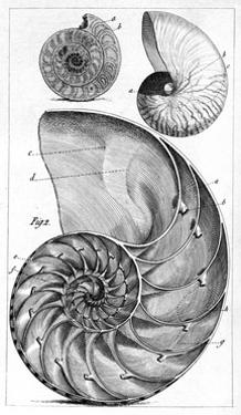 Engraving of a Nautilus And An Ammonite by Middle Temple Library
