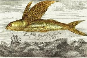 Flying Fish, 17th Century Artwork by Middle Temple Library