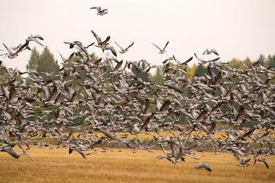 https://imgc.allpostersimages.com/img/posters/migratory-flock-of-birds-barnacle-goose_u-L-Q1EXVKO0.jpg?artPerspective=n