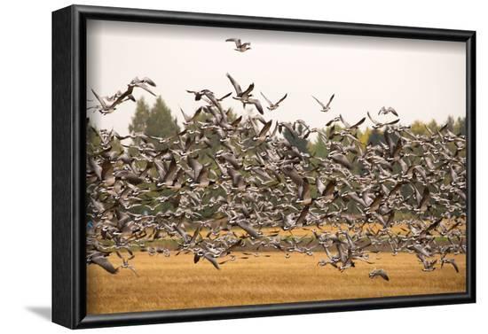 Migratory flock of birds, Barnacle goose-Paivi Vikstrom-Framed Photographic Print