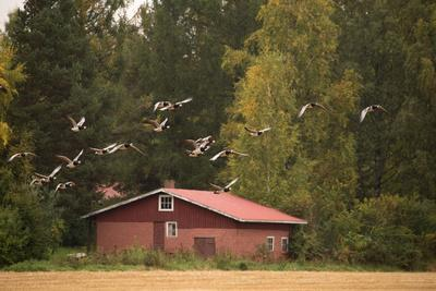 https://imgc.allpostersimages.com/img/posters/migratory-flock-of-birds-barnacle-goose_u-L-Q1EXVOE0.jpg?artPerspective=n