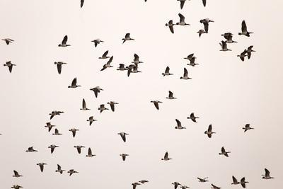 https://imgc.allpostersimages.com/img/posters/migratory-flock-of-birds-barnacle-goose_u-L-Q1EXVZL0.jpg?artPerspective=n
