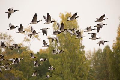 https://imgc.allpostersimages.com/img/posters/migratory-flock-of-birds-barnacle-goose_u-L-Q1EXWJ30.jpg?artPerspective=n