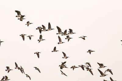 https://imgc.allpostersimages.com/img/posters/migratory-flock-of-birds-barnacle-goose_u-L-Q1EXXFK0.jpg?artPerspective=n
