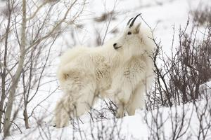 A Billy Mountain Goat Stands Amongst Aspen Trees And Snow Near Alpine, Wyoming by Mike Cavaroc