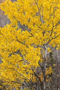 A Birch Tree Is Covered in Yellow Leaves in Riding Mountain National Park, Manitoba, Canada by Mike Cavaroc
