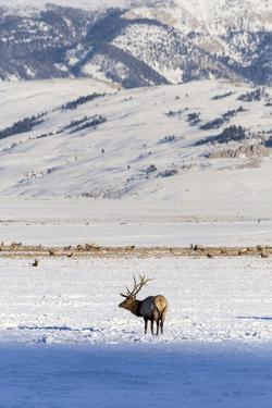 A Bull Elk Looks Up In The National Elk Refuge In Jackson, Wyoming by Mike Cavaroc