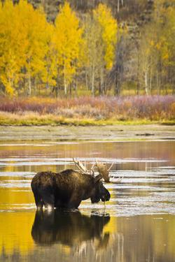 A Bull Moose Eats from Oxbow Bend in Grand Teton National Park, Wyoming by Mike Cavaroc