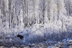 A Bull Moose Feeds on Willow Trees Covered in Hoarfrost in Grand Teton National Park, Wyoming by Mike Cavaroc